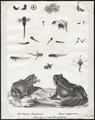Rana temporaria - 1700-1880 - Print - Iconographia Zoologica - Special Collections University of Amsterdam - UBA01 IZ11500007.tif