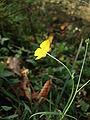 Ranunculus acris 01.JPG