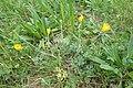 Ranunculus bulbosus kz04.jpg