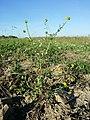 Ranunculus sardous subsp. sardous sl38.jpg