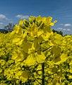 Rapsblüte P1170138.jpg