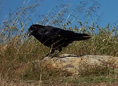 Raven-marin-headlands 1694.crop.jpg
