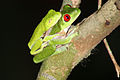 Red-eyed tree frogs mating.JPG