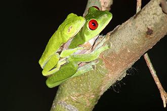 Amplexus - Red-eyed tree frog (Agalychnis callidryas), Costa Rica
