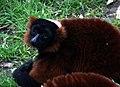 Red Ruffed Lemur (2315194325).jpg