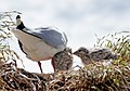 Red billed gull and chick (39) (8066571948).jpg