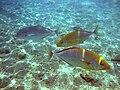Red sea-reef 3814.jpg