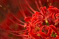 Red spider lily (9873618444).jpg