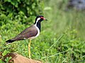 Red wattled lapwing (Vanellus indicus) (22612285226).jpg