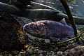Redband trout.jpg