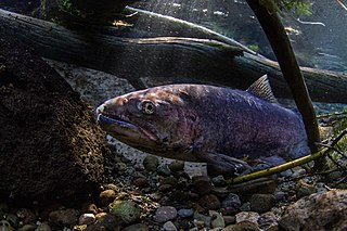 Redband trout Subspecies of fish