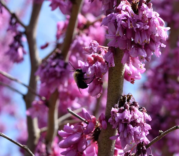 File:Redbud Bee.JPG