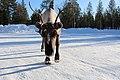 Reindeer Ukonjärvi-Inarijärvi, Finland 06.jpg