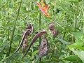 Reserva do Patrimônio Natural Frei Caneca Mauricio Cabral Periquito (5) Aristolochia e Heliconia psitacorum 05-09-2015.jpg