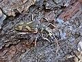 Rhagium bifasciatum (Cerambycidae) - (imago), Molenhoek, the Netherlands.jpg