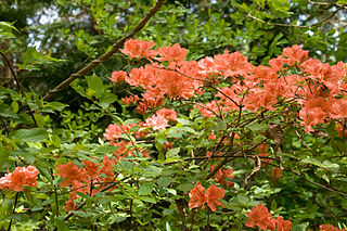 Rhododendron Kaempferi 01.jpg