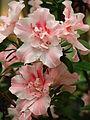 Rhododendron cv. 023.JPG
