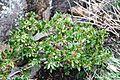 Rhododendron ferrogineum IMG 4906 rustalperose.jpg