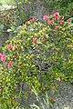 Rhododendron ferrugineum kz04.jpg