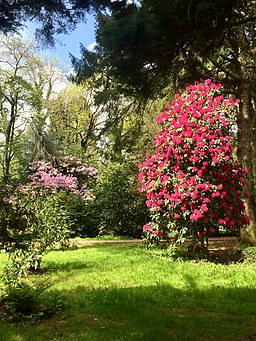 Rhododendrons in Cefn Onn-geograph-6146578-by-Alan-Hughes