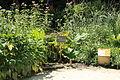 Rhubarbe chinoise au Jardin botanique du Clos Lucé.JPG