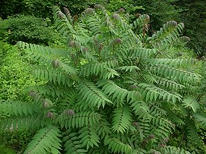 Rhus glabra below North Fork Mountain, West Vi...