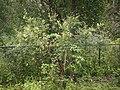 Rhus parviflora Roxb. (9919772643).jpg