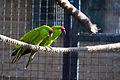 Rhynchopsitta pachyrhyncha -Twycross Zoo-8.jpg