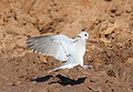 Ring-necked Dove (also known as Cape Turtle Dove), Streptopelia capicola, at Mapungubwe National Park, Limpopo, South Africa (18810697086).jpg