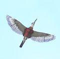 Ringed Kingfisher (Megaceryle torquata) (7222796522) (cropped).jpg