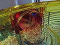 Roborovski hamster-02.jpg