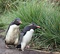 Rockhopper Penguins on West Point Island (5545431749).jpg