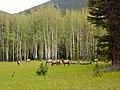 Rocky Mountain NP, Elks - panoramio.jpg