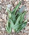 Rohdea japonica (leaf).jpg