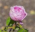 Rosa 'Belle Amour' in Dunedin Botanic Garden 02.jpg