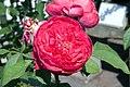 Rosa Benjamin Britten 3zz.jpg