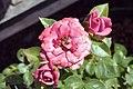 Rosa Lavender Sunblaze 1zz.jpg
