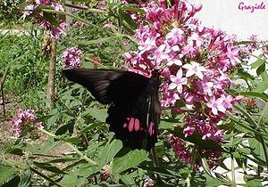 Borboleta Rosa de Luto Papilio anchysiades