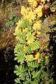 Rosa sericea - Quarryhill Botanical Garden - DSC03325.JPG