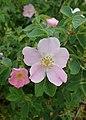 Rosa villosa kz02.jpg