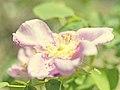 Rose, Rosa nutkana, バラ, ロサ・ヌトカーナ, (17467567076).jpg