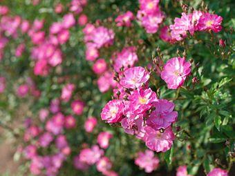 Rose, Yesterday, バラ, イエスタデイ, (15855632645).jpg