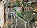 Rose-ringed parakeet in Jerusalem 003.JPG