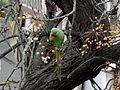 Rose-ringed parakeet in Jerusalem 005.JPG
