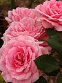 Rose Carol バラ キャロル (6325922162).jpg