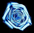 Rose blue001.jpg