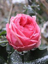 Rose givre.jpg