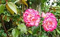 Roses, Dixon Park, Belfast (4) - geograph.org.uk - 908942.jpg