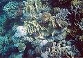 Rotes Meer Ägypten Makadi Bay Korallenriff - Schnorcheltiefe - panoramio (3).jpg
