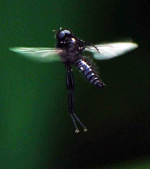 Mourning fly